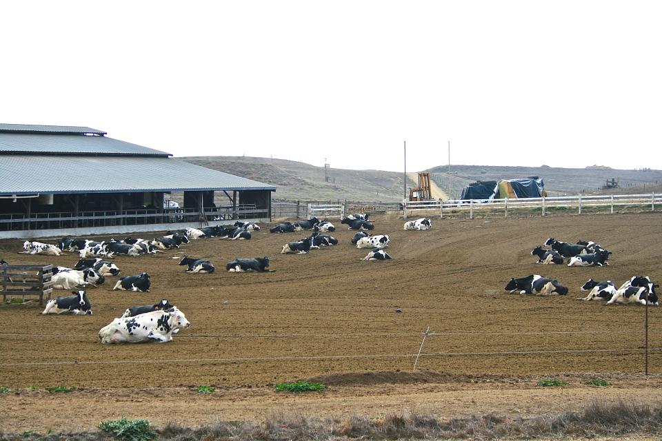dairy farm, petaluma